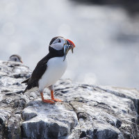 Puffin with sand eels 2