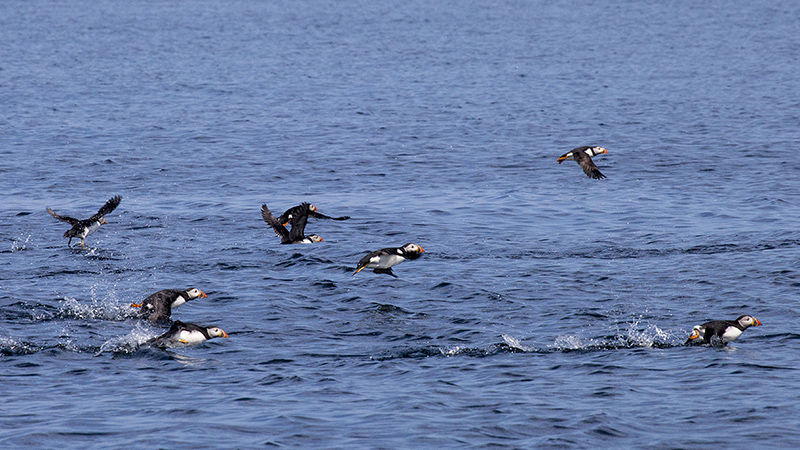Puffins flying over water