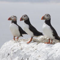 Puffins on chalk wall