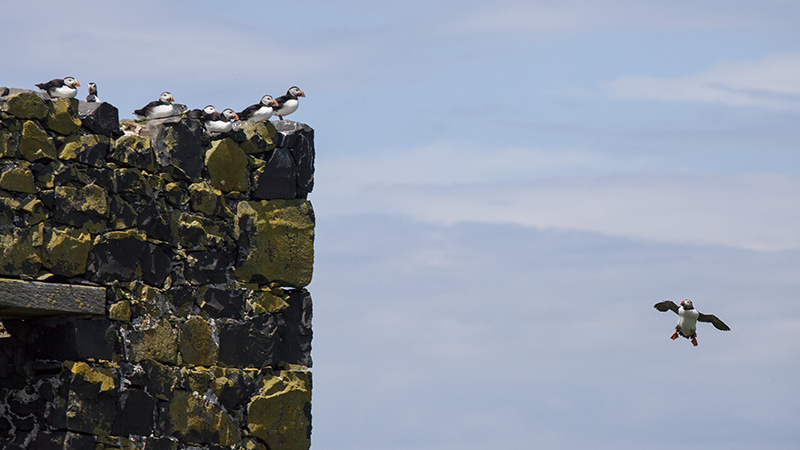 Puffins watching another flying