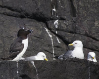 Razorbill and Kittiwake