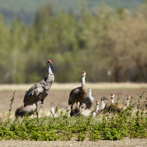 Sandhill Cranes, Anchorage
