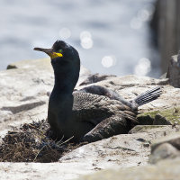 Shag on nest 1