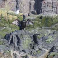 Shag spreading wings