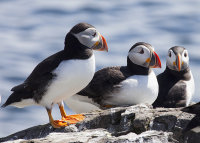 Three puffins on the cliff