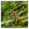 025  Brown Hawker Dragonfly