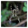 038 Garden Spider (Orb Weaver)