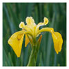 040 Yellow Flag Iris