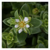042 Sea Sandwort