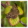 050 Speckled Wood