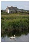 053 Swan in a Marsh