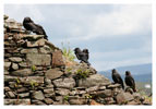 054 Jackdaws on gable of ruin