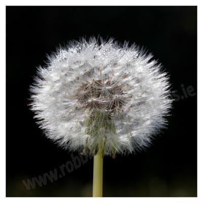 165 Dewdrops on Dandelion seed head