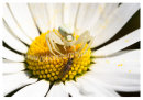 180 Crab Spider and fly on Ox-eye Daisy, Sherkin Island