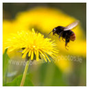 190 Bee hoovering over Dandelion, Sherkin Island