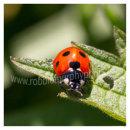 192 Ladybird on leaf, Sherkin Island