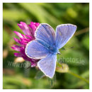 198 Common Blue on Red Clover, Sherkin Island