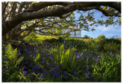 121 Bluebells in springtime below St. Mona's Church, Sherkin Island