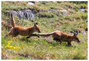 125 Two fox cubs running