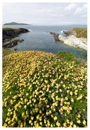 127 Kidney Vetch – looking out to Cape Clear