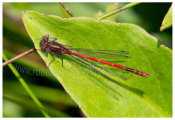 128 Large Red Damselfly on leaf