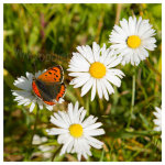136 Small Copper butterfly on Daisy