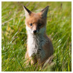 137 Portrait of a fox cub