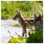 138 Fox Cub duo – a side view