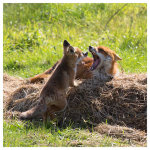 139 Vixen and cub at play