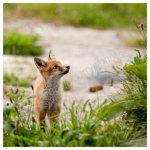 141 A curious fox cub