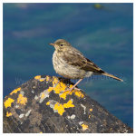 146 Meadow Pipit on Lichen Rock