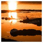 103 Herons at sunset – the Lagoon, Sherkin Island