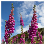 107 Blue skys over Foxgloves