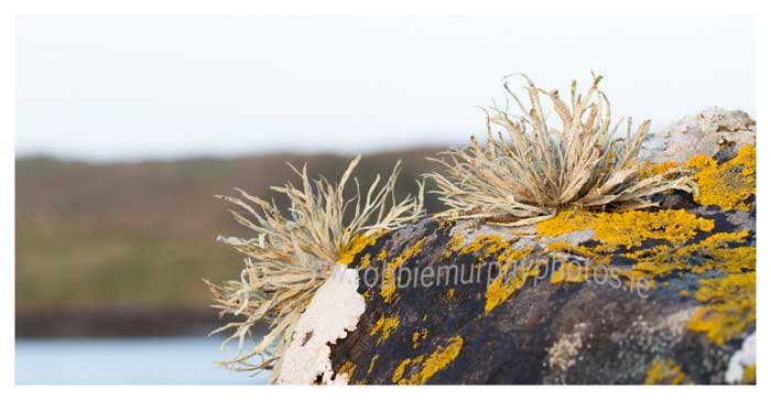 096 Lichen on coastal rocks, Sherkin Island
