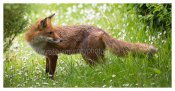 098 Fox in a field of Daisies