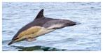 017 Common Dolphin