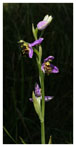 060 Bee Orchid