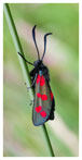061 Six-spot Burnet Moth