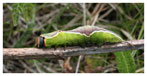 062 Puss Moth Caterpillar