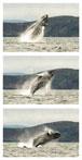 068 Humpback Whale Breaching, Sherkin Island 2013