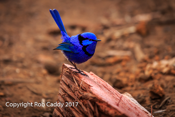 Blue Wren Visitor