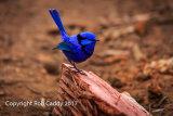 Blue Wren Visitor