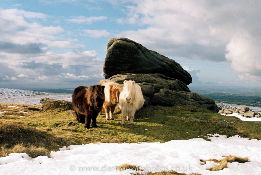 Shetland ponies near Belstone Tor
