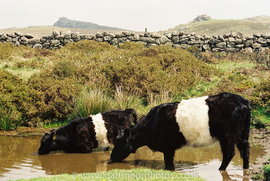Beltted Galloways cooling off!