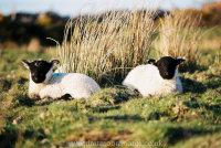 Scottish Blackface Lambs