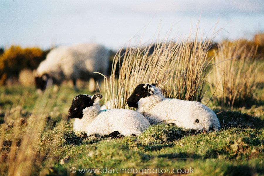 Scottish Blackface Lambs with ewe in background