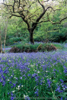 Bluebells and oak