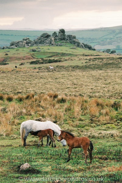 Dartmoor Gray Mare and foals