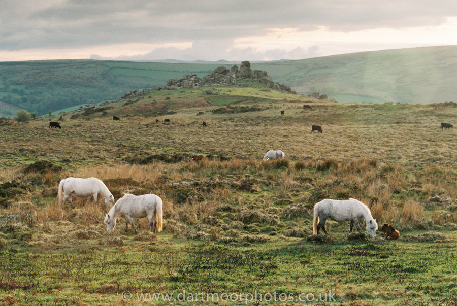 Dartmoor Ponies and foals with Bonehill Rocks