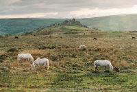 Dartmoor Ponies and foals with Bonehill Rocks